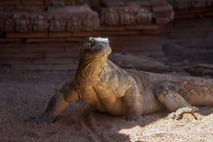 Όμορφος δράκος Komodo στην αιχμαλωσία στοκ φωτογραφία με δικαίωμα ελεύθερης χρήσης