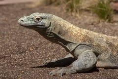 Όμορφος δράκος Komodo στην αιχμαλωσία στοκ εικόνες με δικαίωμα ελεύθερης χρήσης
