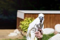 Όμορφος εκπαιδευμένος παπαγάλος cockatoo σε ετοιμότητα μιας γυναίκας στοκ εικόνα