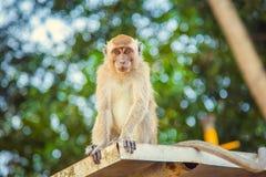 Όμορφος ενήλικος πίθηκος macaque, Στοκ φωτογραφία με δικαίωμα ελεύθερης χρήσης