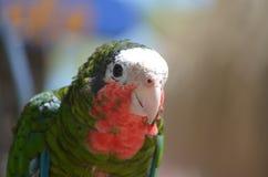 Όμορφος εξετάστε έναν πράσινο και κόκκινο παπαγάλο Conure Στοκ Φωτογραφία