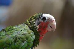 Όμορφος εξετάστε στο σχεδιάγραμμα ενός παπαγάλου Conure Στοκ Εικόνες