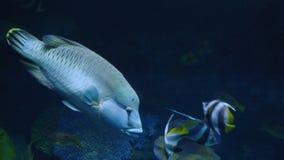 Όμορφος εξωτικός βλέπει τα ψάρια σε ένα ενυδρείο σκηνή υποβρύχια στοκ εικόνα με δικαίωμα ελεύθερης χρήσης