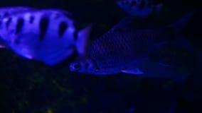 Όμορφος εξωτικός βλέπει τα ψάρια σε ένα ενυδρείο Υποβρύχια σκοτεινή σκηνή στοκ εικόνα με δικαίωμα ελεύθερης χρήσης