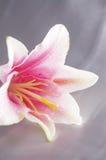 όμορφος εξωτικός lilly στοκ εικόνες με δικαίωμα ελεύθερης χρήσης