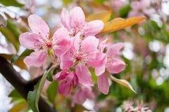 Όμορφος ευγενής χλωμός κινηματογραφήσεων σε πρώτο πλάνο - ρόδινα λουλούδια του sakura Στοκ φωτογραφία με δικαίωμα ελεύθερης χρήσης