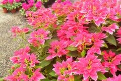 Όμορφος ευφορβίας κήπος φύλλων Pulcherrima ρόδινος στοκ φωτογραφία με δικαίωμα ελεύθερης χρήσης