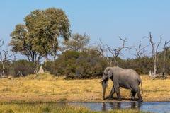 Όμορφος ελέφαντας στο εθνικό πάρκο Chobe στη Μποτσουάνα Στοκ Φωτογραφία