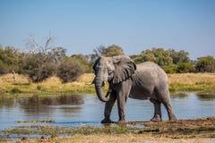 Όμορφος ελέφαντας στο εθνικό πάρκο Chobe στη Μποτσουάνα Στοκ Φωτογραφίες