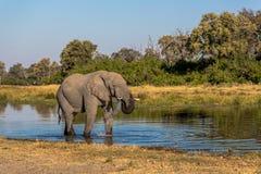 Όμορφος ελέφαντας στο εθνικό πάρκο Chobe στη Μποτσουάνα Στοκ Εικόνες