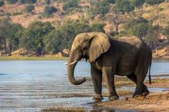 Όμορφος ελέφαντας στο εθνικό πάρκο Chobe στη Μποτσουάνα Στοκ εικόνες με δικαίωμα ελεύθερης χρήσης