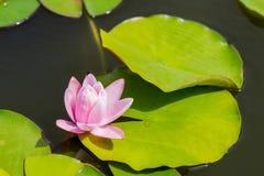Όμορφος ελαφρύς αυξήθηκε κρίνος ή λωτός νερού στοκ εικόνα