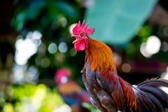 Όμορφος ζωηρόχρωμος κόκκορας στοκ εικόνες με δικαίωμα ελεύθερης χρήσης
