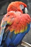 Όμορφος ζωηρόχρωμος παπαγάλος Στοκ Εικόνες