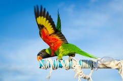 Όμορφος ζωηρόχρωμος παπαγάλος, ήλιος Conure (solstitialis Aratinga) Στοκ Φωτογραφία