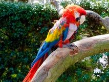 Όμορφος ζωηρόχρωμος παπαγάλος Macaw μέσα, ζωολογικός κήπος του Φοίνικας πόλεων του Μιγιαζάκι Στοκ Εικόνες