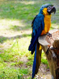 Όμορφος ζωηρόχρωμος παπαγάλος Macaw μέσα, ζωολογικός κήπος του Φοίνικας πόλεων του Μιγιαζάκι Στοκ φωτογραφία με δικαίωμα ελεύθερης χρήσης