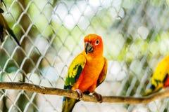 Όμορφος ζωηρόχρωμος παπαγάλος, solstitialis Conure Aratinga ήλιων, s Στοκ Φωτογραφίες