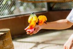 Όμορφος ζωηρόχρωμος παπαγάλος, solstitialis Conure Aratinga ήλιων, s Στοκ Εικόνες