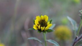 όμορφος ηλίανθος κίτρινο& Στοκ Φωτογραφίες
