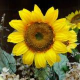 όμορφος ηλίανθος κίτρινο& Στοκ Εικόνες