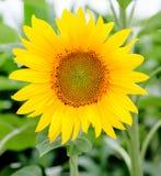 Όμορφος ηλίανθος με φωτεινό κίτρινο Στοκ εικόνα με δικαίωμα ελεύθερης χρήσης