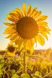 Όμορφος ηλίανθος το καλοκαίρι Στοκ Εικόνες