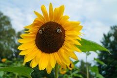 Όμορφος ηλίανθος - annuus και μέλισσα Helianthus Στοκ Εικόνες