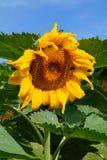 Όμορφος ηλίανθος - annuus Helianthus Στοκ Φωτογραφίες