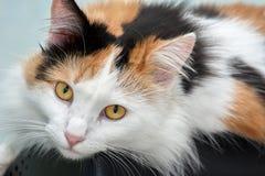 Όμορφος η γάτα εξετάζει τη κάμερα στοκ εικόνες με δικαίωμα ελεύθερης χρήσης