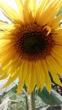 Όμορφος ηλιακός, καλοκαίρι, με τους σπόρους ηλίανθων ένας ηλίανθος Στοκ φωτογραφία με δικαίωμα ελεύθερης χρήσης