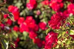 Όμορφος θάμνος των κόκκινων τριαντάφυλλων σε έναν κήπο άνοιξη κόκκινα τριαντάφυλλα ανθίζοντας κήπος Άνοιξη Καλοκαίρι Στοκ Φωτογραφίες