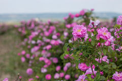 Όμορφος θάμνος των ρόδινων τριαντάφυλλων σε έναν κήπο άνοιξη λουλούδι πεδίων Ο τομέας του τσαγιού αυξήθηκε Φυτεία με τριανταφυλλι Στοκ Φωτογραφία