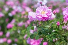 Όμορφος θάμνος των ρόδινων τριαντάφυλλων σε έναν κήπο άνοιξη λουλούδι πεδίων Ο τομέας του τσαγιού αυξήθηκε Φυτεία με τριανταφυλλι Στοκ φωτογραφία με δικαίωμα ελεύθερης χρήσης