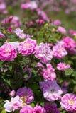 Όμορφος θάμνος των ρόδινων τριαντάφυλλων σε έναν κήπο άνοιξη λουλούδι πεδίων Ο τομέας του τσαγιού αυξήθηκε Φυτεία με τριανταφυλλι Στοκ φωτογραφίες με δικαίωμα ελεύθερης χρήσης