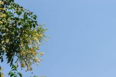 Όμορφος ινδικός φελλός (hortensis Linn Millingtonia f) λουλούδια επάνω Στοκ Φωτογραφία