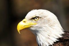 όμορφος ισχυρός αμερικανικός αετός Στοκ εικόνα με δικαίωμα ελεύθερης χρήσης