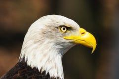 όμορφος ισχυρός αμερικανικός αετός Στοκ φωτογραφία με δικαίωμα ελεύθερης χρήσης