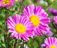 Όμορφος ιώδης αστέρας λουλουδιών Στοκ εικόνες με δικαίωμα ελεύθερης χρήσης