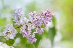 Όμορφος ιώδης κλάδος λουλουδιών κινηματογραφήσεων σε πρώτο πλάνο πράσινος μαλακός ανασκόπη Στοκ φωτογραφία με δικαίωμα ελεύθερης χρήσης