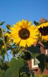 Όμορφος κήπος ηλίανθων - βόρεια Γερμανία Στοκ Εικόνα