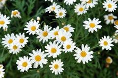 Όμορφος κήπος καλοκαιριού ή άνοιξης με τα λουλούδια μαργαριτών στοκ εικόνα