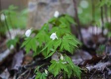 όμορφος κήπος λουλουδιών anemones λευκό Στοκ φωτογραφία με δικαίωμα ελεύθερης χρήσης