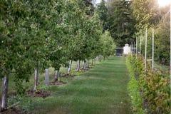 Όμορφος κήπος μήλων στην ηλιόλουστη ημέρα Στοκ Εικόνες