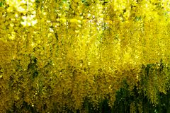 Όμορφος κήπος με την ανθίζοντας αψίδα laburnum κατά τη διάρκεια του χρόνου άνοιξη στοκ φωτογραφίες