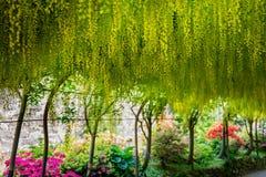 Όμορφος κήπος με την ανθίζοντας αψίδα laburnum κατά τη διάρκεια του χρόνου άνοιξη στοκ εικόνες