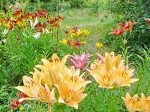 όμορφος κήπος λουλουδιών λεπίδων ανασκόπησης ζωηρόχρωμοι κρίνοι Στοκ Φωτογραφία