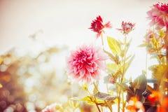 Όμορφος κήπος φθινοπώρου με τα λουλούδια νταλιών Στοκ Φωτογραφίες