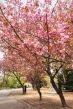 Όμορφος κήπος Sakura Στοκ εικόνα με δικαίωμα ελεύθερης χρήσης