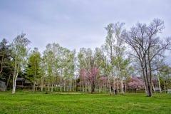 Όμορφος κήπος Sakura Στοκ Φωτογραφίες